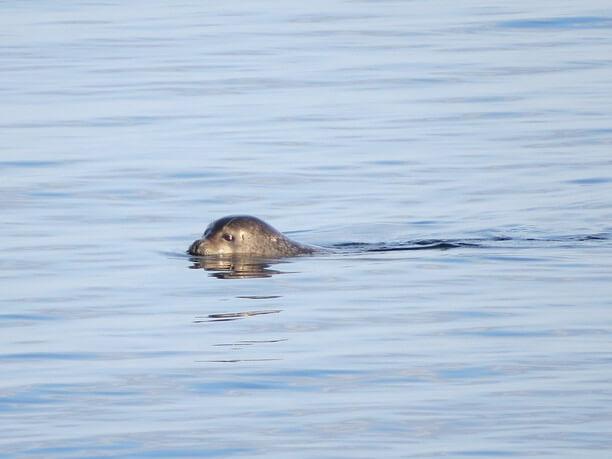 海面から頭を出すアザラシ