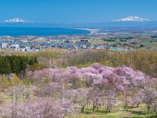 オホーツク海と桜
