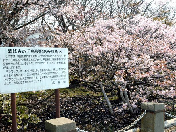 千島桜記念保護樹木