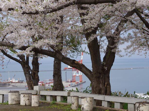 小樽湾を見下ろす桜