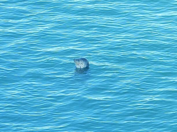 水面から顔を出すアザラシ