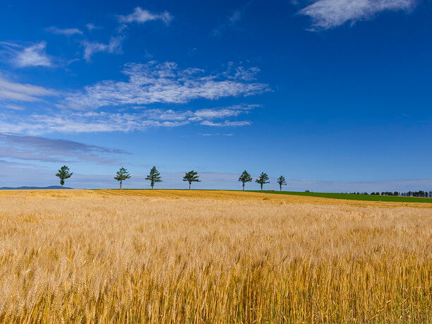 小麦と7本のカラマツ