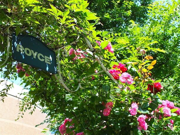 約300種類のバラが咲き誇る「ロイズ ローズガーデン