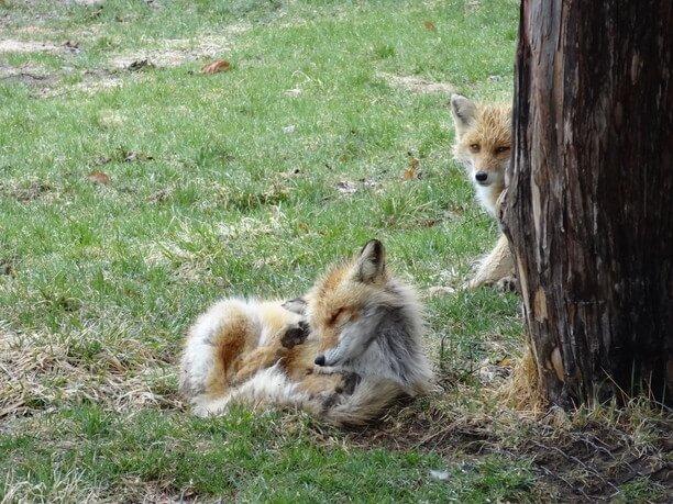 木陰で佇むキタキツネ