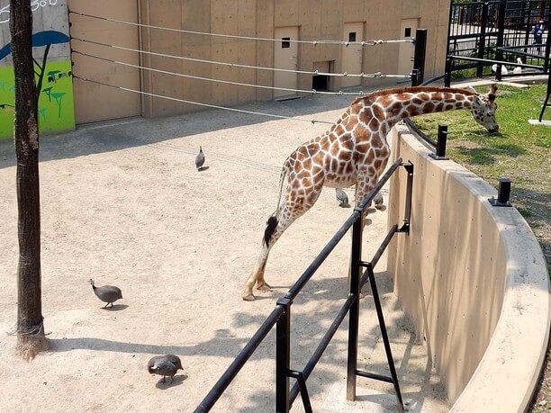 キリンとホロホロ鳥の共生展示