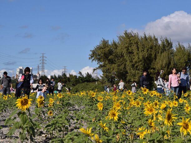 50万本のひまわりが咲く会場