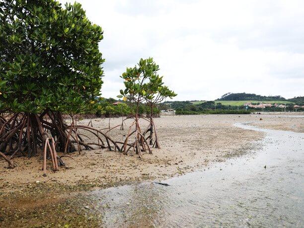 随所に広がる亜熱帯特有のマングローブ林