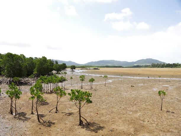 自生するマングローブ林