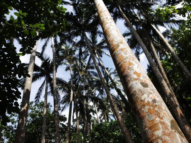 自生する巨木