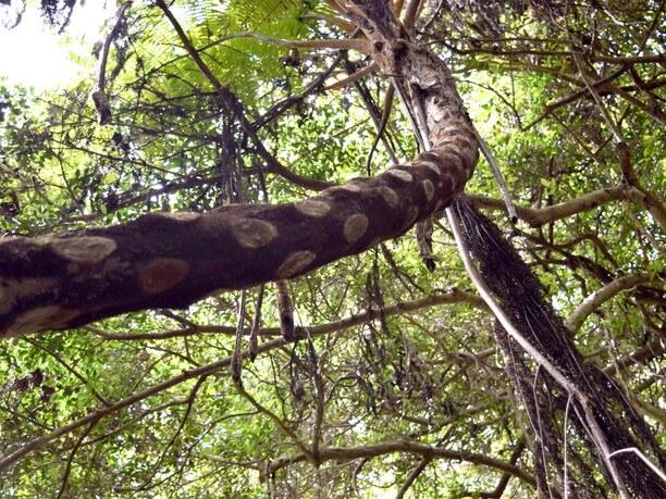 亜熱帯植物「ヒカゲヘゴ」